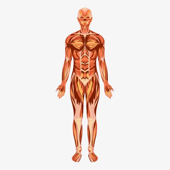 efectos de la miastenia gravis en el sistema muscular