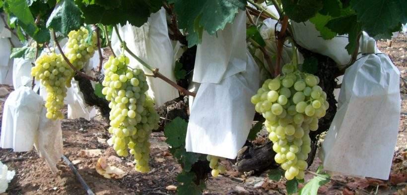 uvas de las suerte