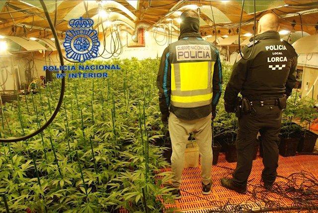 Desmantelan en Lorca un cultivo con 1.000 plantas de marihuana
