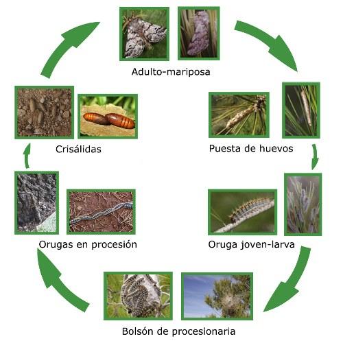 ciclo vital procesionaria