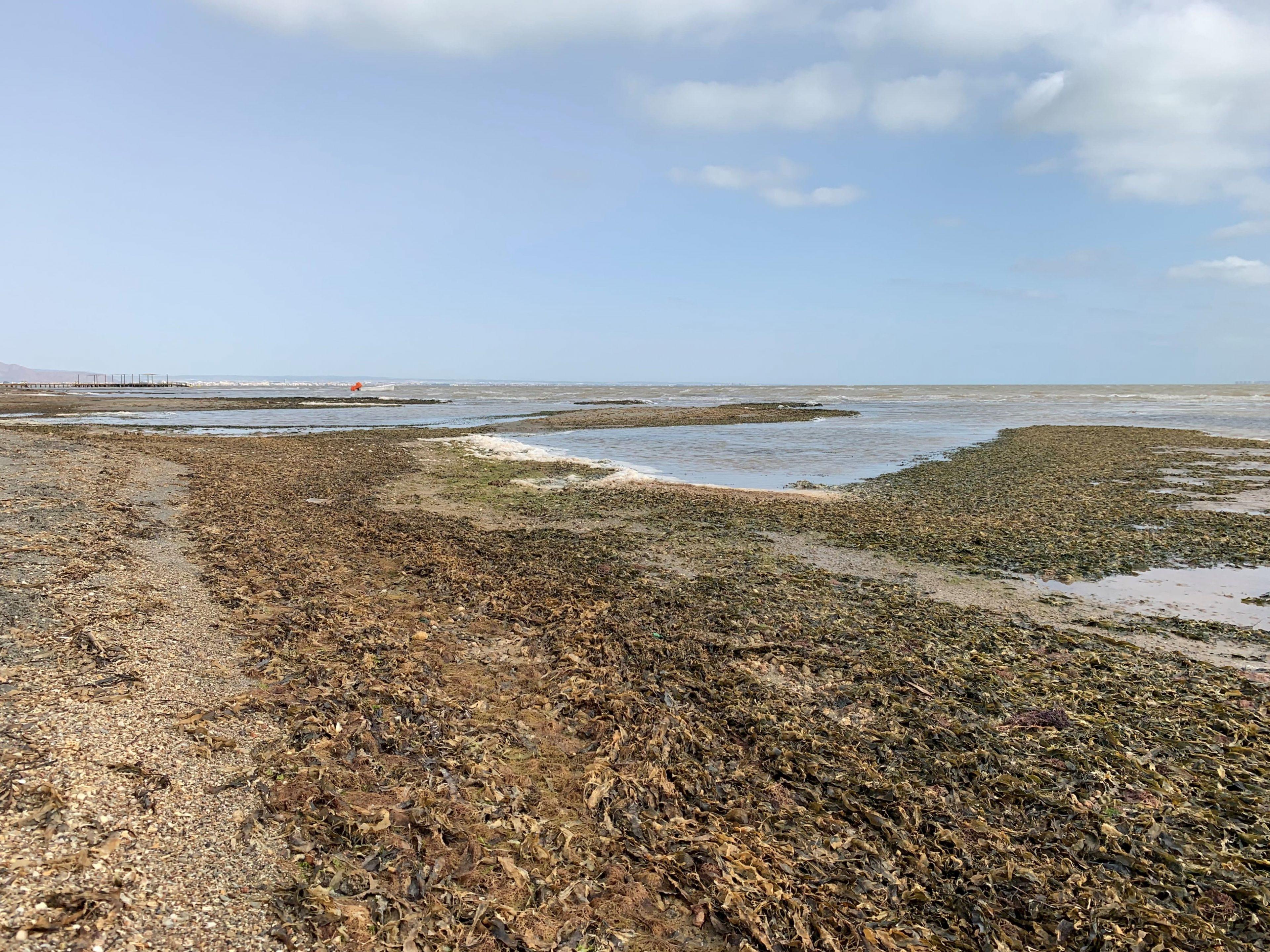 Acumulación de algas muertas en la orilla de la playa de Los Urrutias