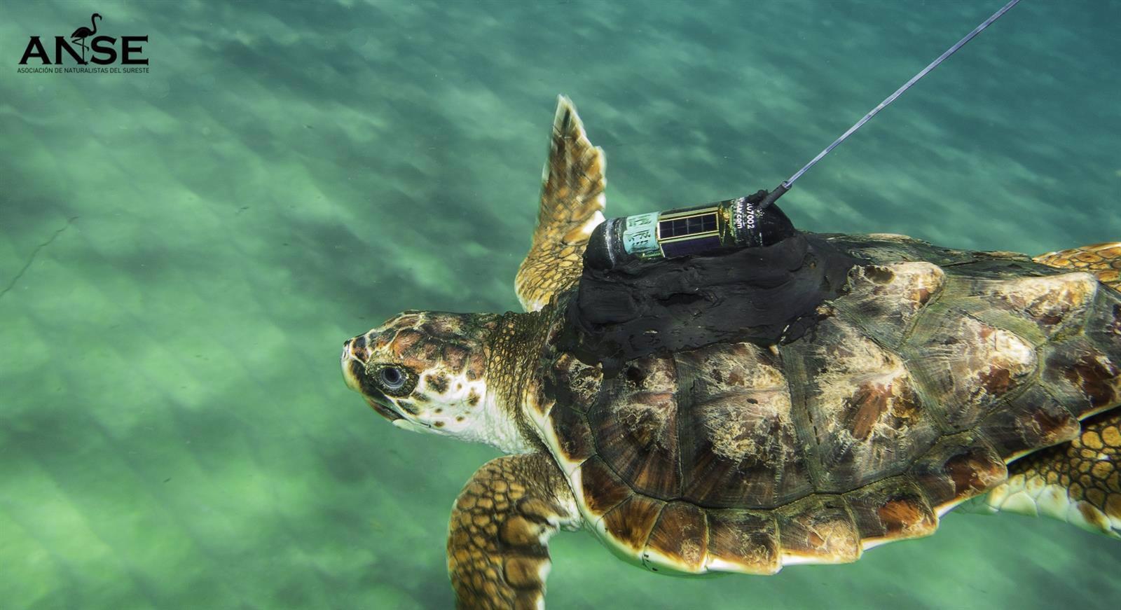 tres tortugas marinas recorren todo el mediterraneo entre calblanque y la costa griega