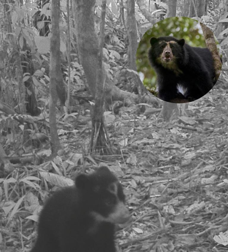 Encuentran dos cachorros jukumari en Venezuela, el oso de Sudamérica en peligro de extinción